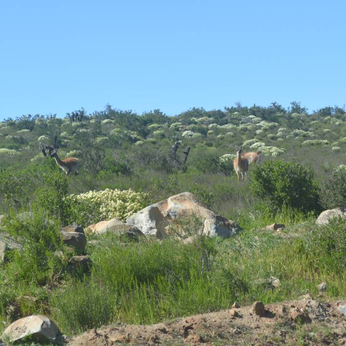 Fray Jorge, guanacos at the park entrance