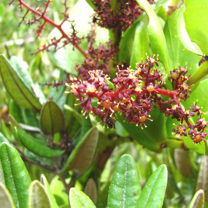 Fray Jorge, yelmo in flower